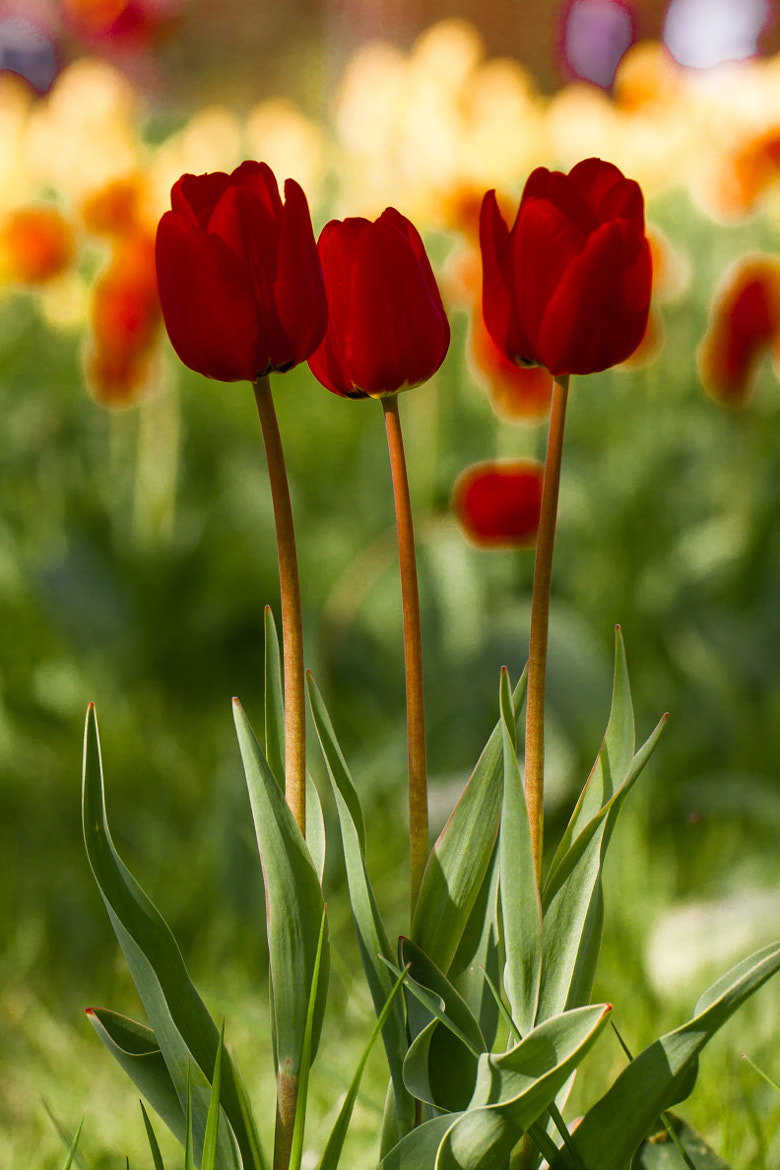 Photograph tulips by Axel Lauer on 500px