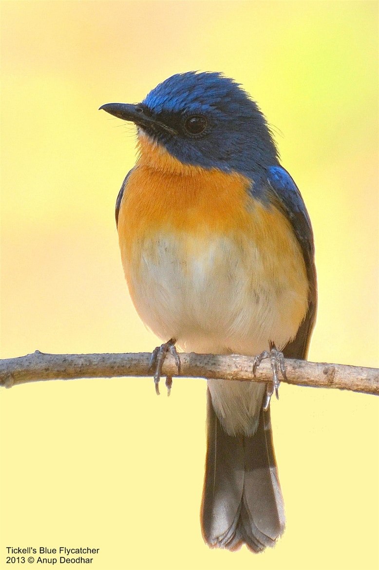 Photograph Tickell's Blue Flycatcher by Anup Deodhar on 500px