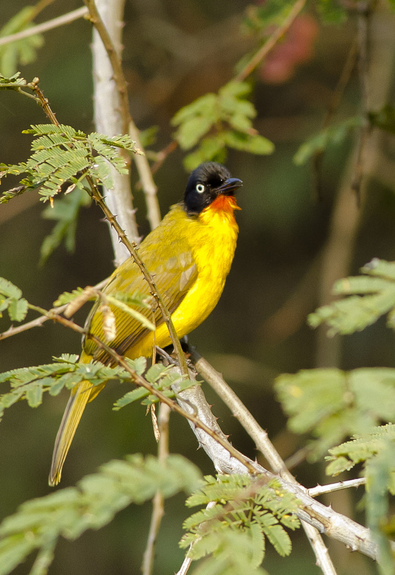 Photograph Flame Throated Bulbul by Mohamed Mothi on 500px