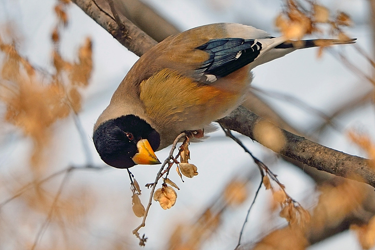 Photograph Yellow-billed Grosbeak by Young Sung Bae on 500px