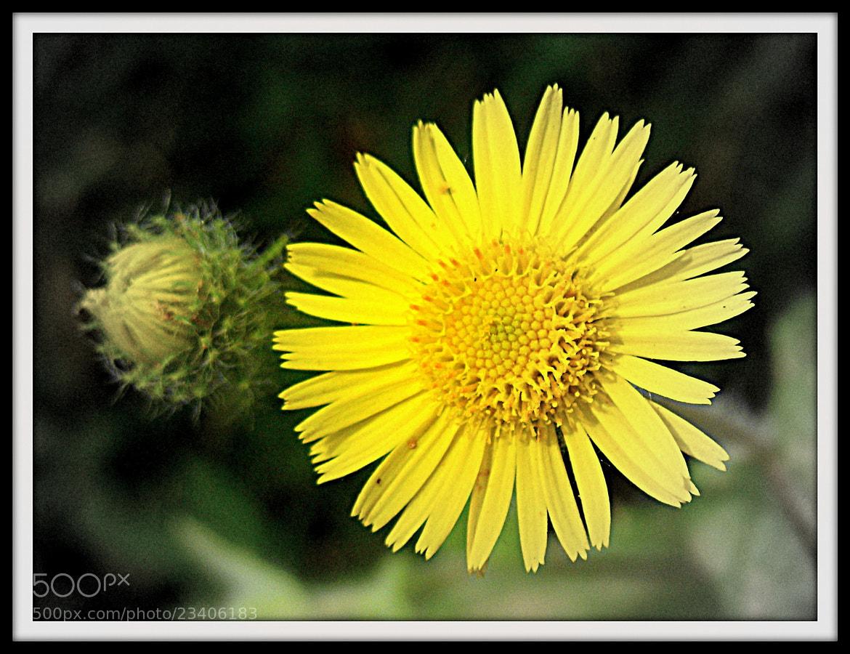 Photograph well...not a sunflower by Mahmoud Akbar on 500px