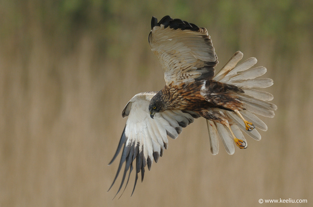 Photograph Marsh Harrier by Kee Liu on 500px