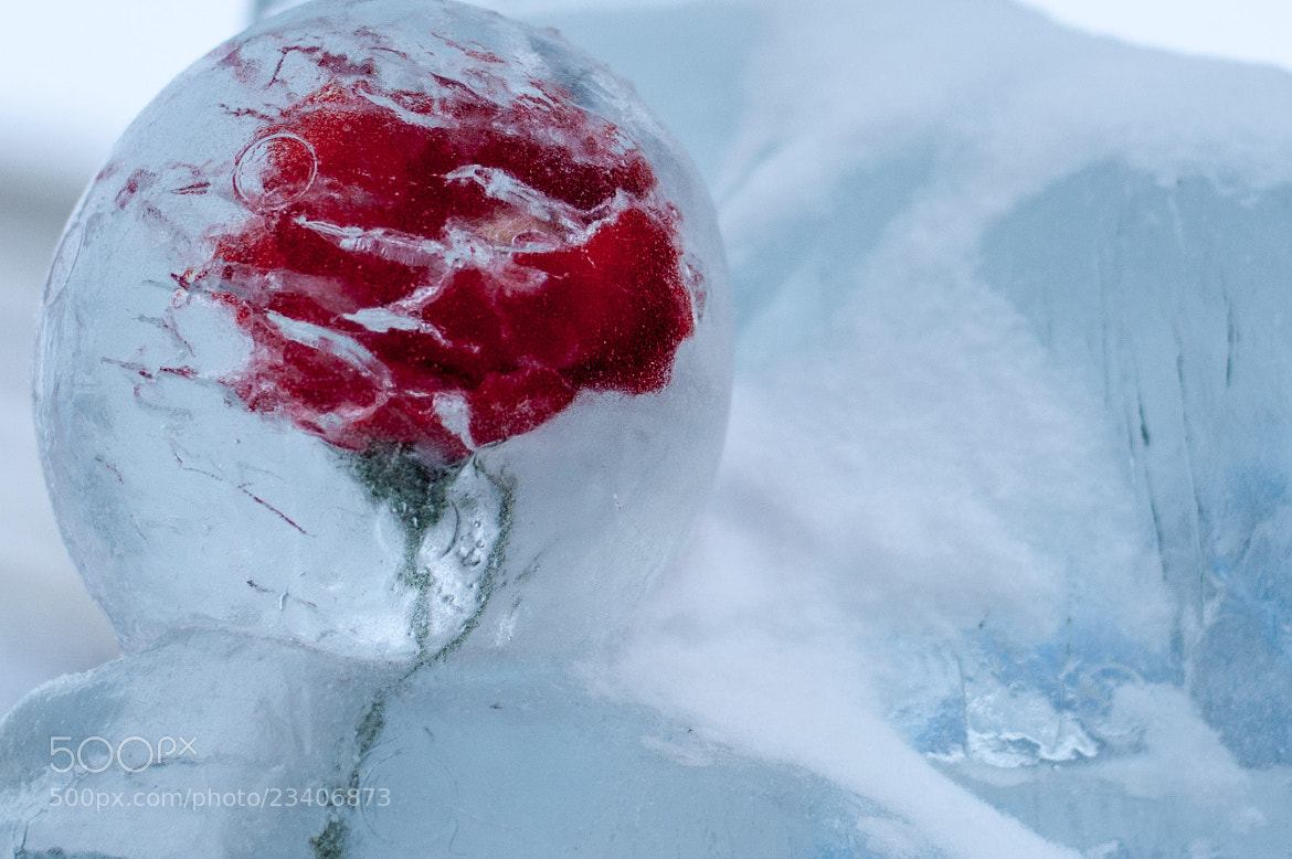 Photograph frozen rose by Max Yashin on 500px