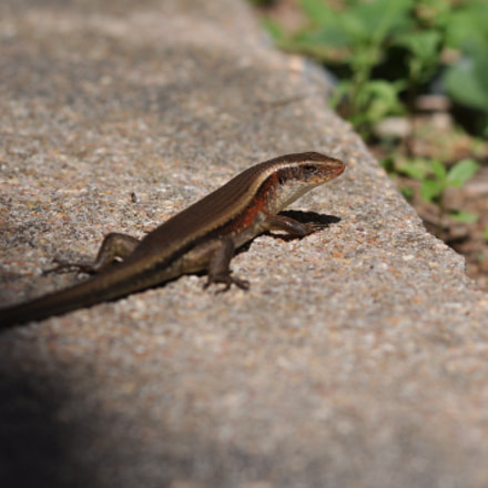 The skink