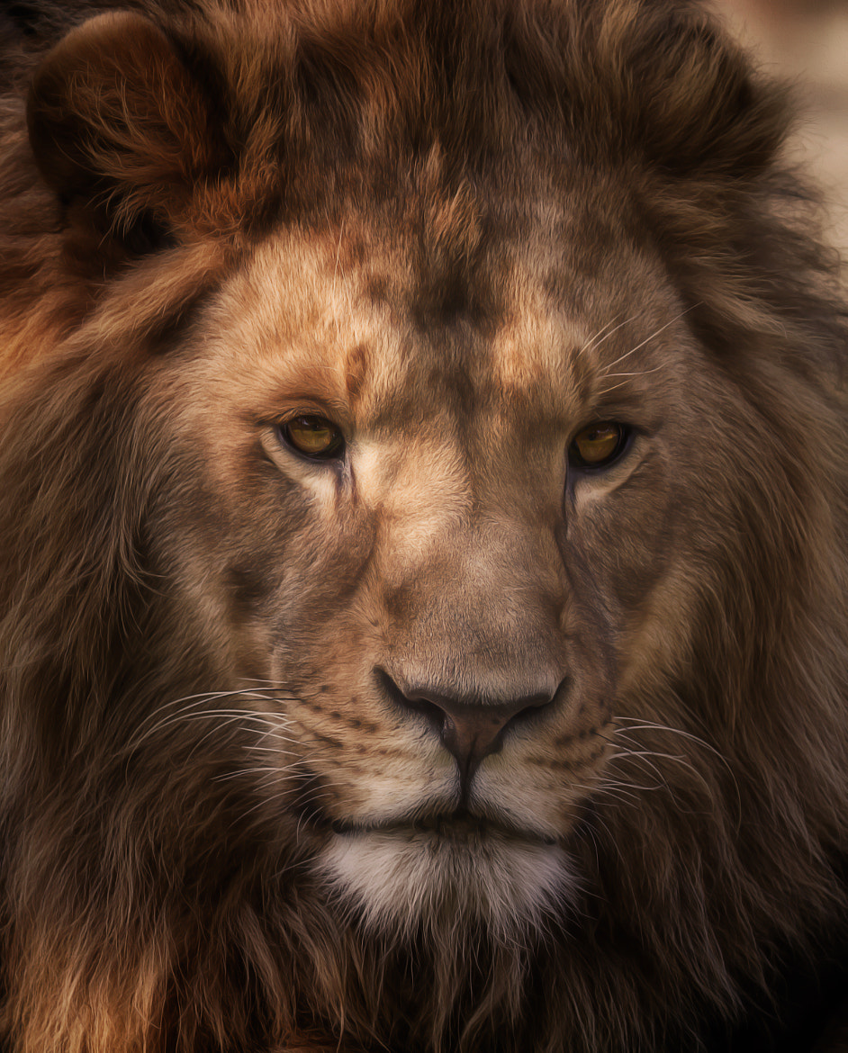 Photograph Lion in the dark by Denis Van Linden on 500px