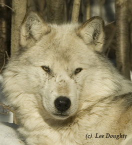 Photograph Wolf by Lee Doughty on 500px
