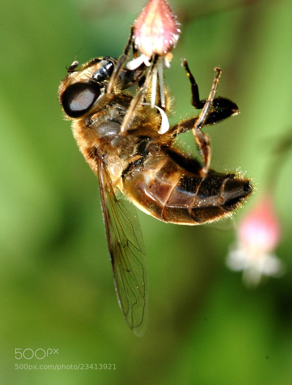 Photograph Honey Bee by Bert Kohlgraf on 500px