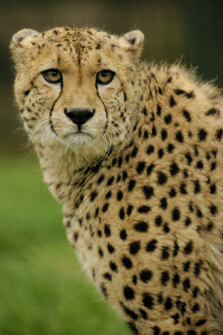 Photograph Cheetah by Guy Swarbrick on 500px