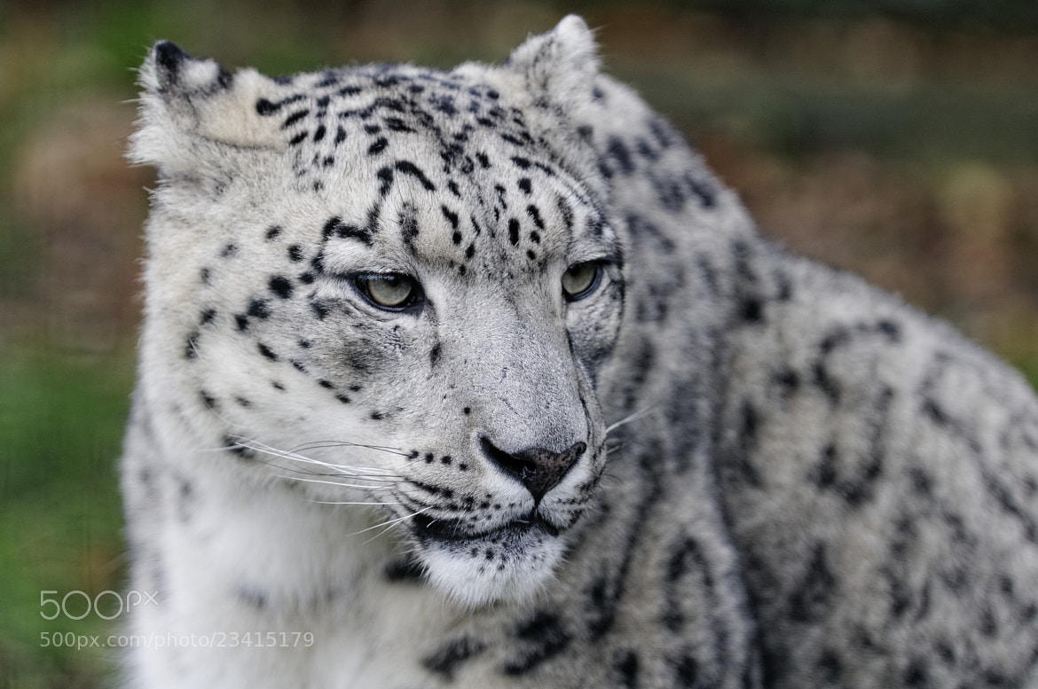 Photograph Snow Leopard by Guy Swarbrick on 500px