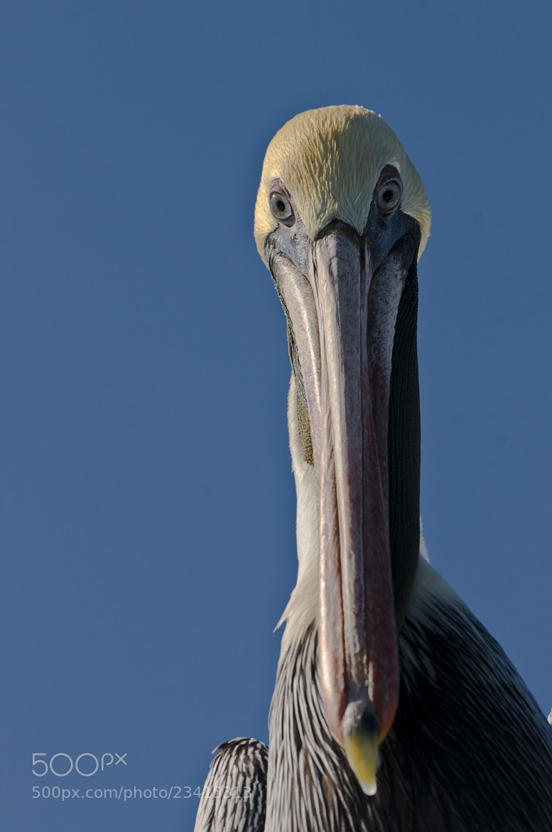 Photograph Brown Pelican by Steven Skyrie on 500px