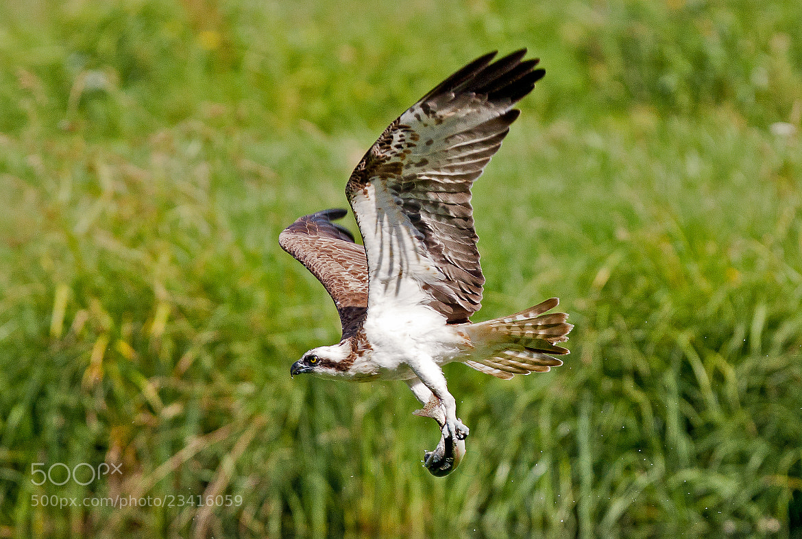 Photograph Osprey with a catch by Jukka Lehtinen on 500px