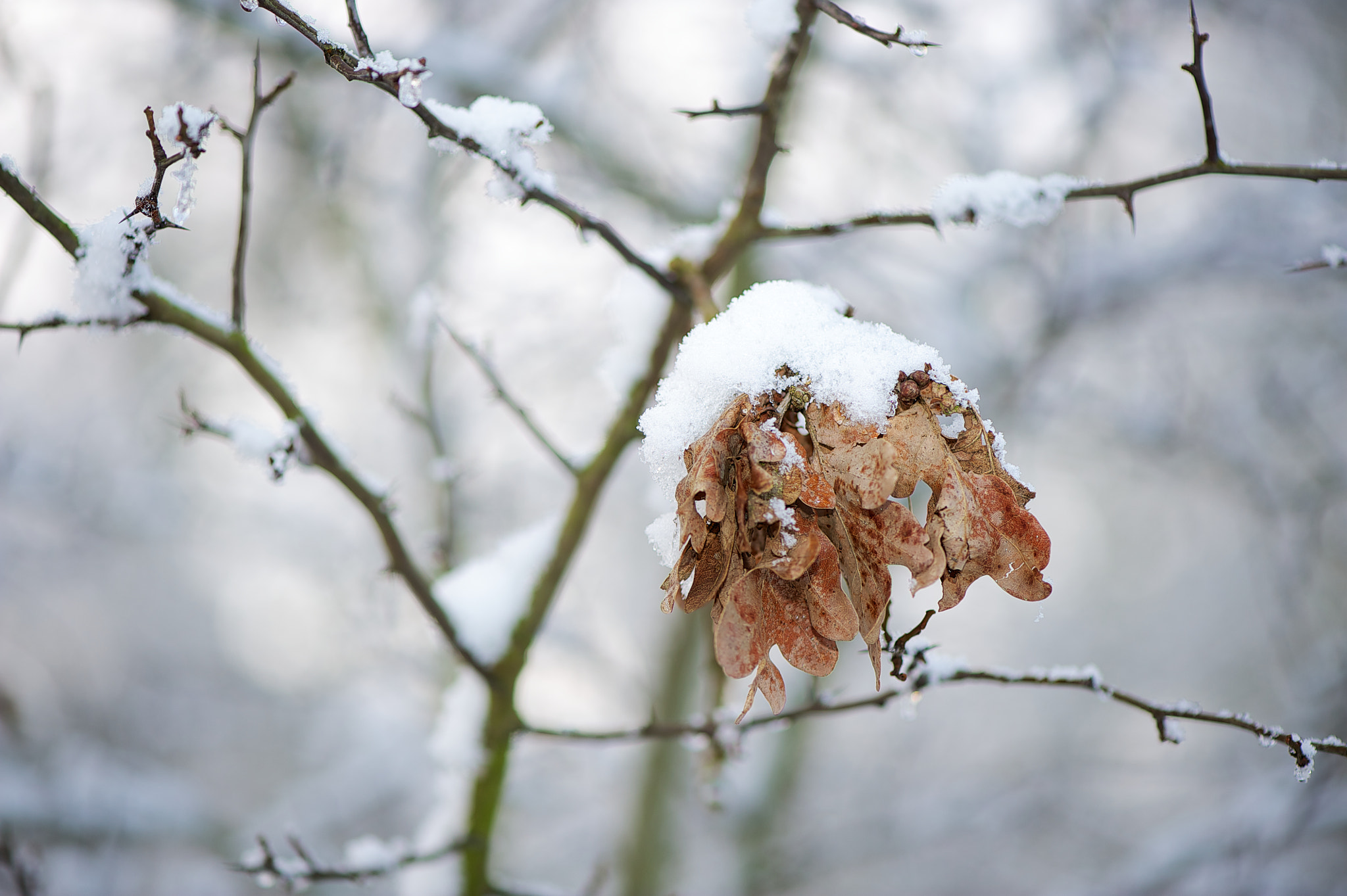 Photograph Snow covered leaves by James Johnson on 500px