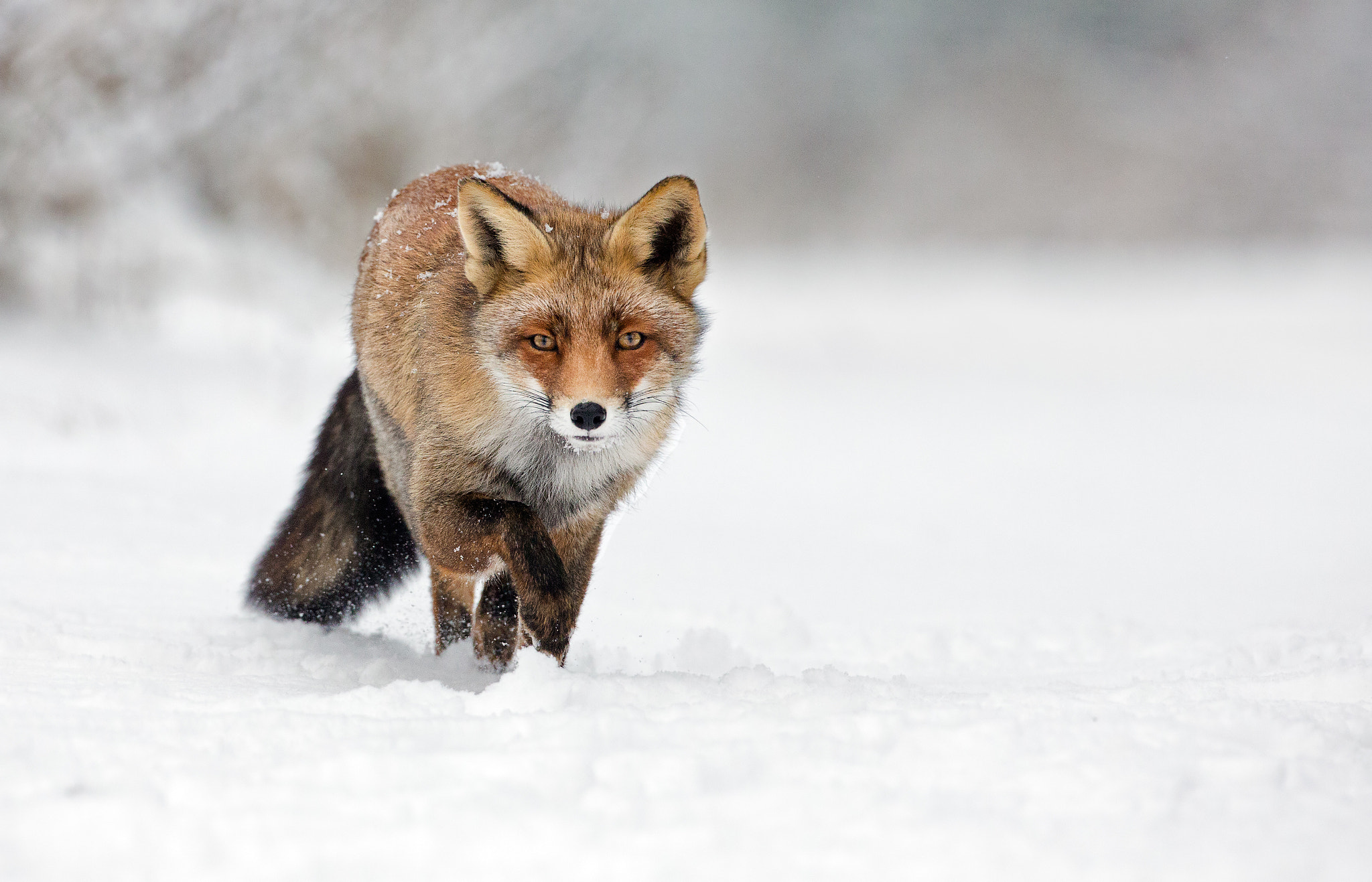 Photograph Red fox in winter landscape by Menno Schaefer on 500px