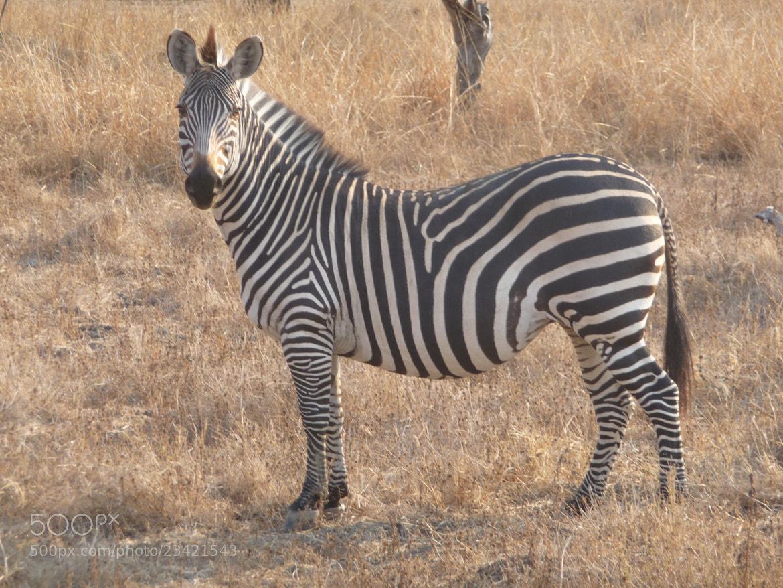 Photograph Mr Zebra by Euan  McLaren on 500px