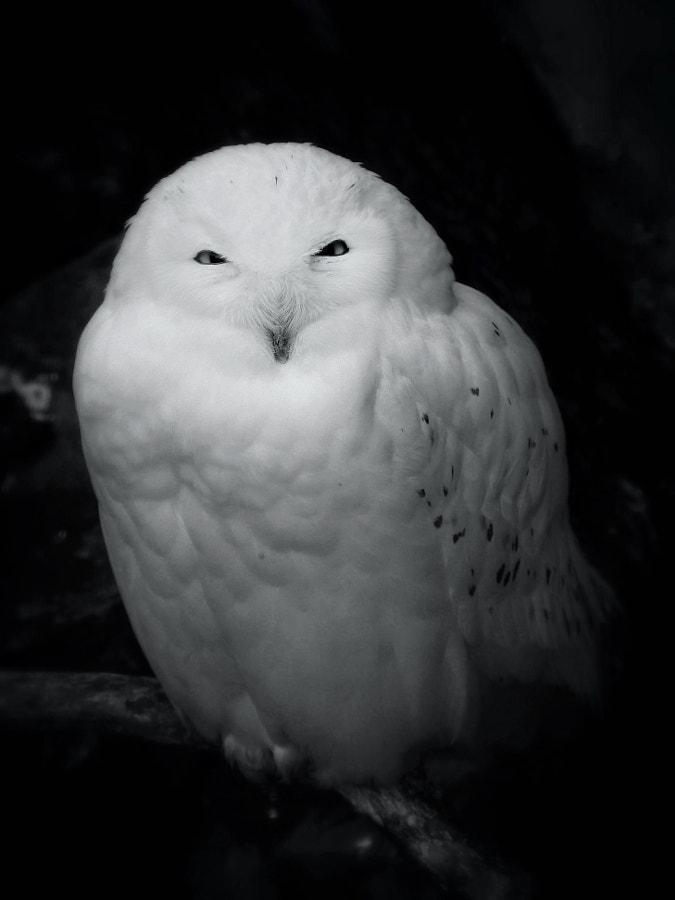 snow owl :: schneeeule