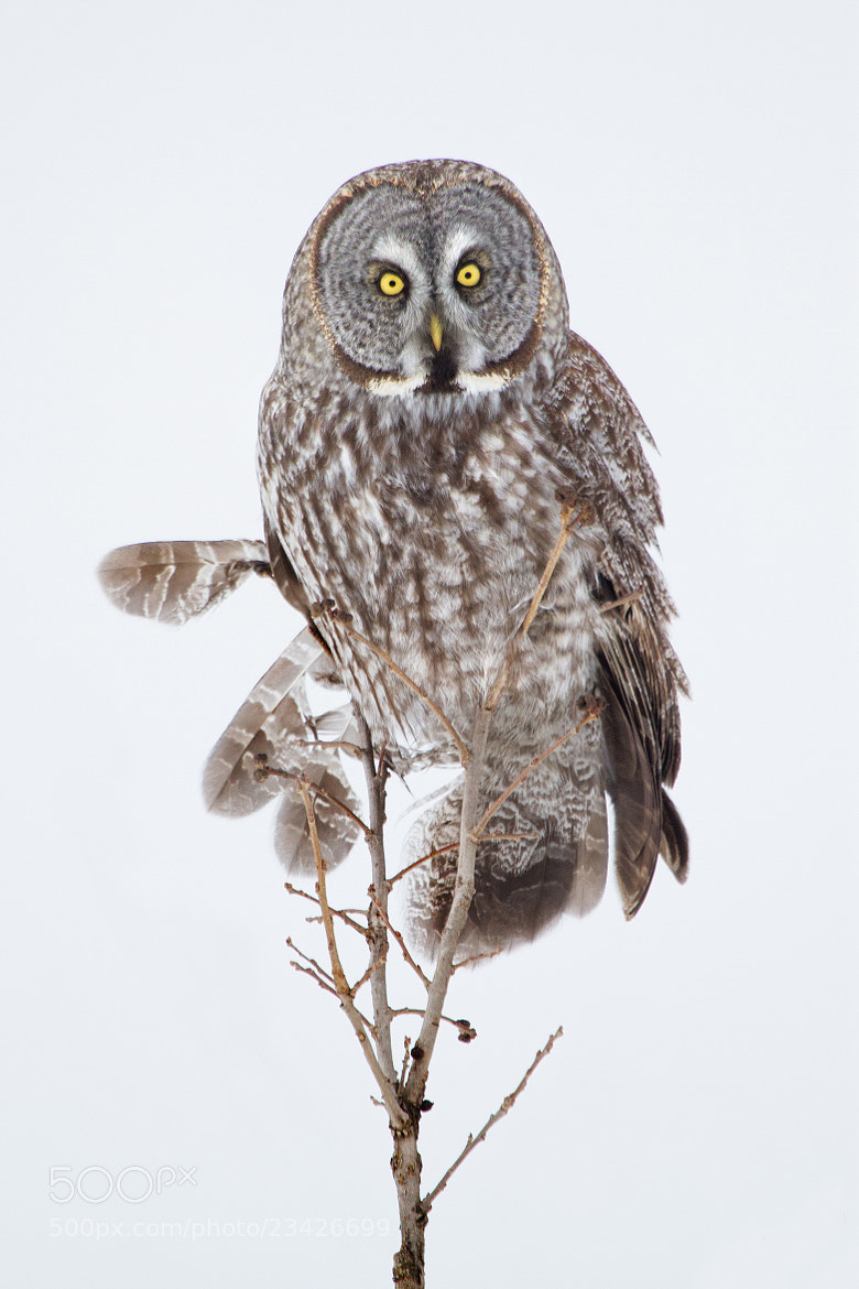 Photograph High-key Great Gray Owl by Daniel Cadieux on 500px