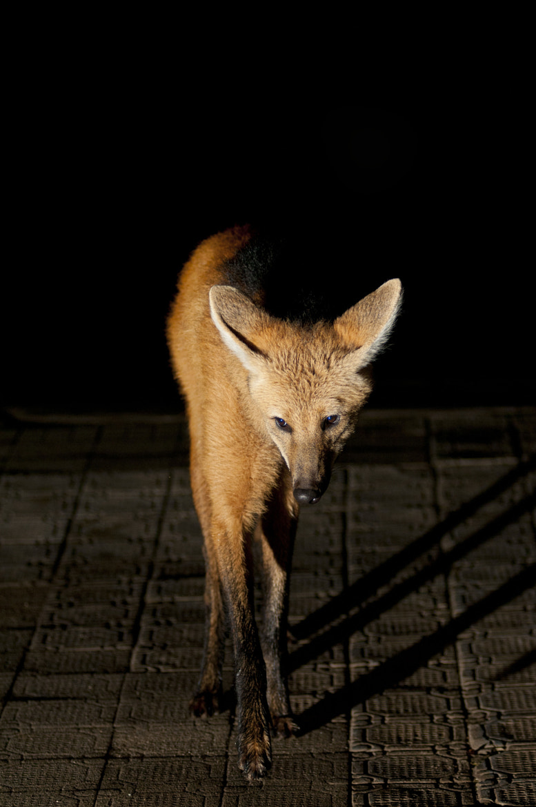 Photograph Maned Wolf by ROGERIO COSTA on 500px