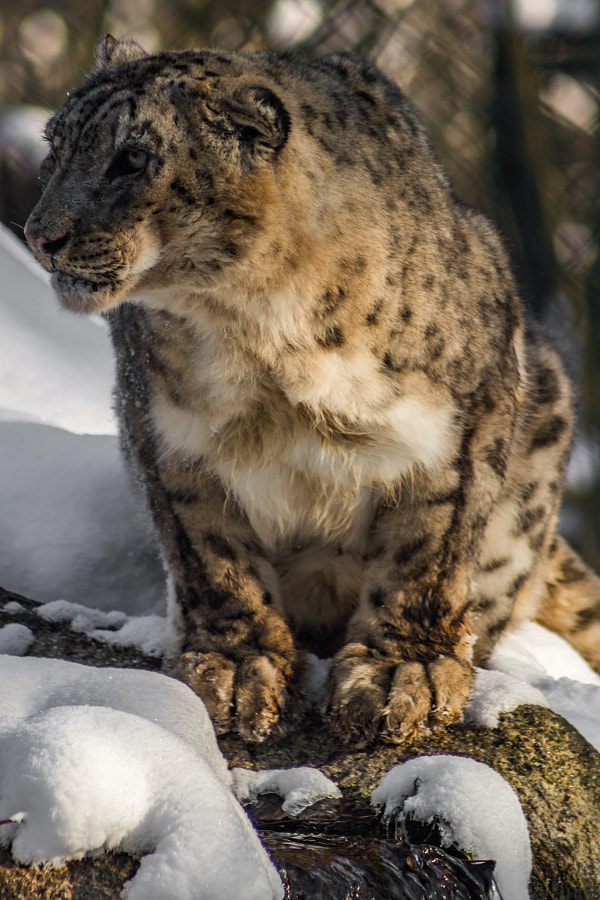 Snow Leopard, Winter, Munich Zoo by Murray Adcock on 500px.com