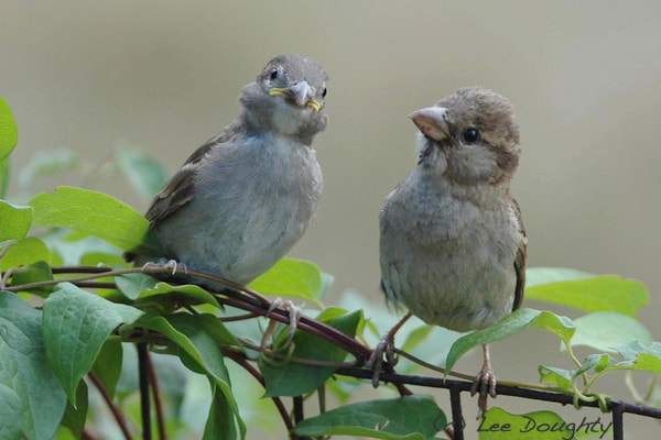 Photograph Sparrows by Lee Doughty on 500px