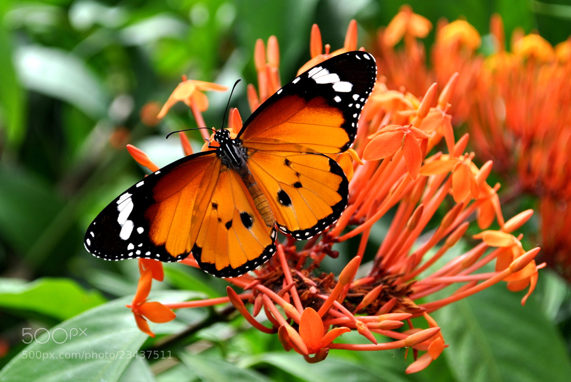 Photograph Colorful Butterfly by Chaithanya Holla on 500px