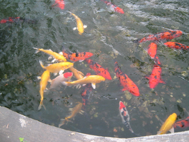 Photograph KOI Fishes 1 by juvs  on 500px