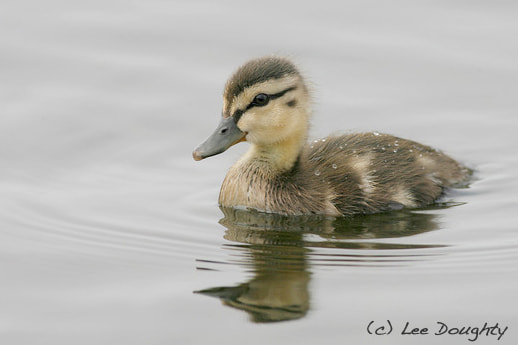 Photograph Mallard Duckling by Lee Doughty on 500px