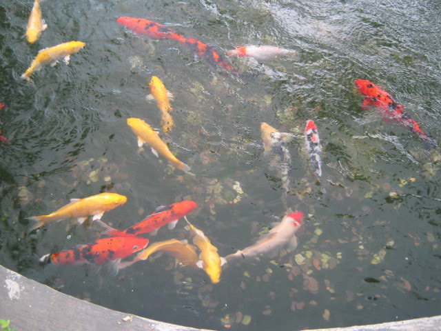 Photograph KOI Fishes 2 by juvs  on 500px