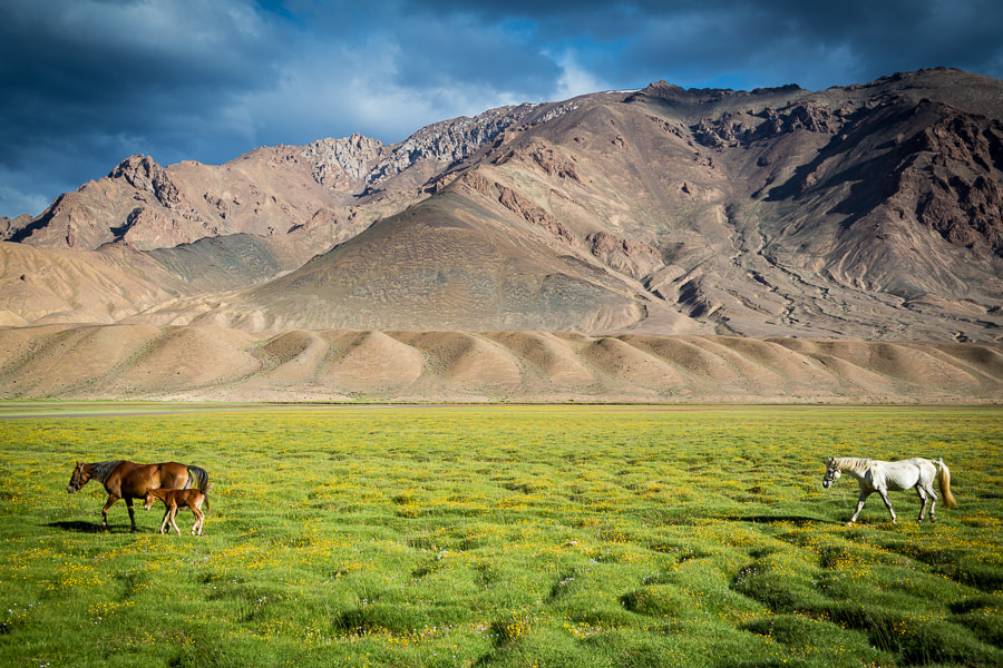 Photograph Horses in field in front of mountains near Murghab, Tajikistan by Damon Lynch on 500px