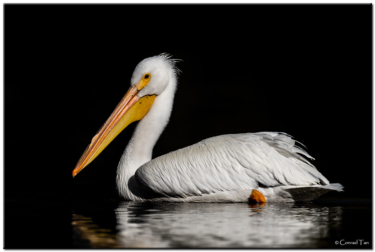 Photograph American White Pelican by Conrad Tan on 500px