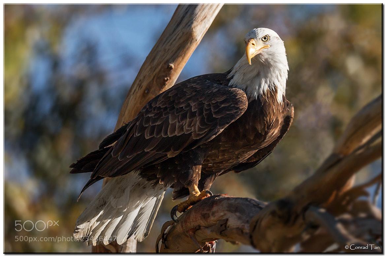 Photograph Bald Eagle by Conrad Tan on 500px
