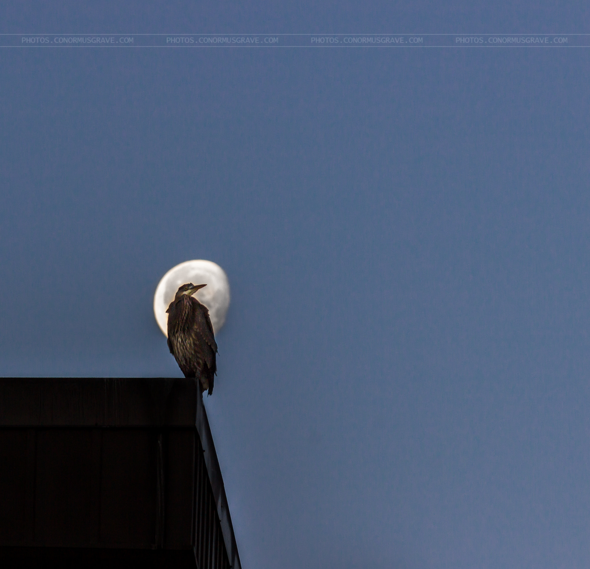 Photograph Great Blue Heron and the Moon by Conor Musgrave on 500px
