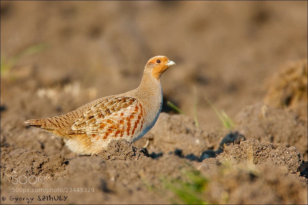 Photograph Grey Partridge (Perdix perdix) by Gyorgy Szimuly on 500px