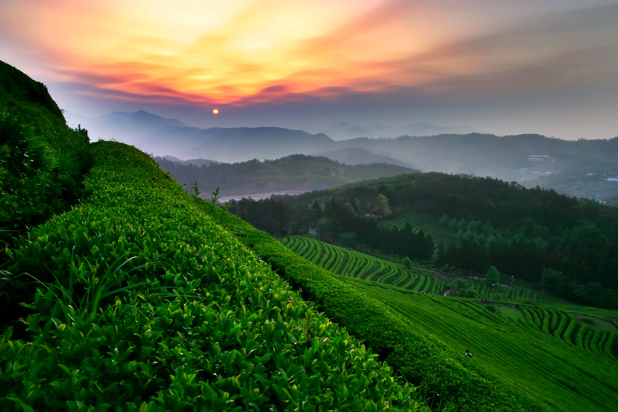 Photograph tea field by Tristan Jo on 500px