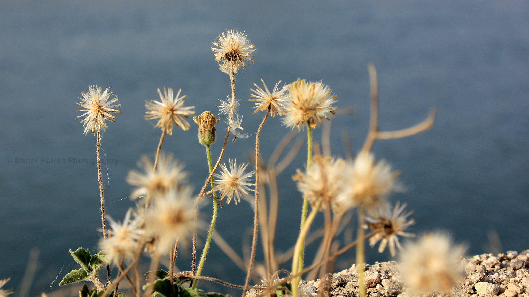Photograph Flowers Near Narmada Canal by Dhruv Patel on 500px