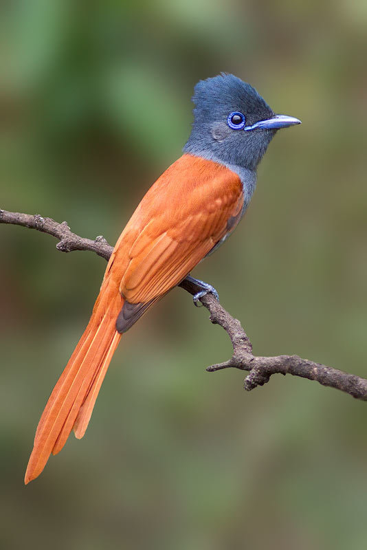 Photograph Paradise Flycatcher by Carl Sutherland on 500px