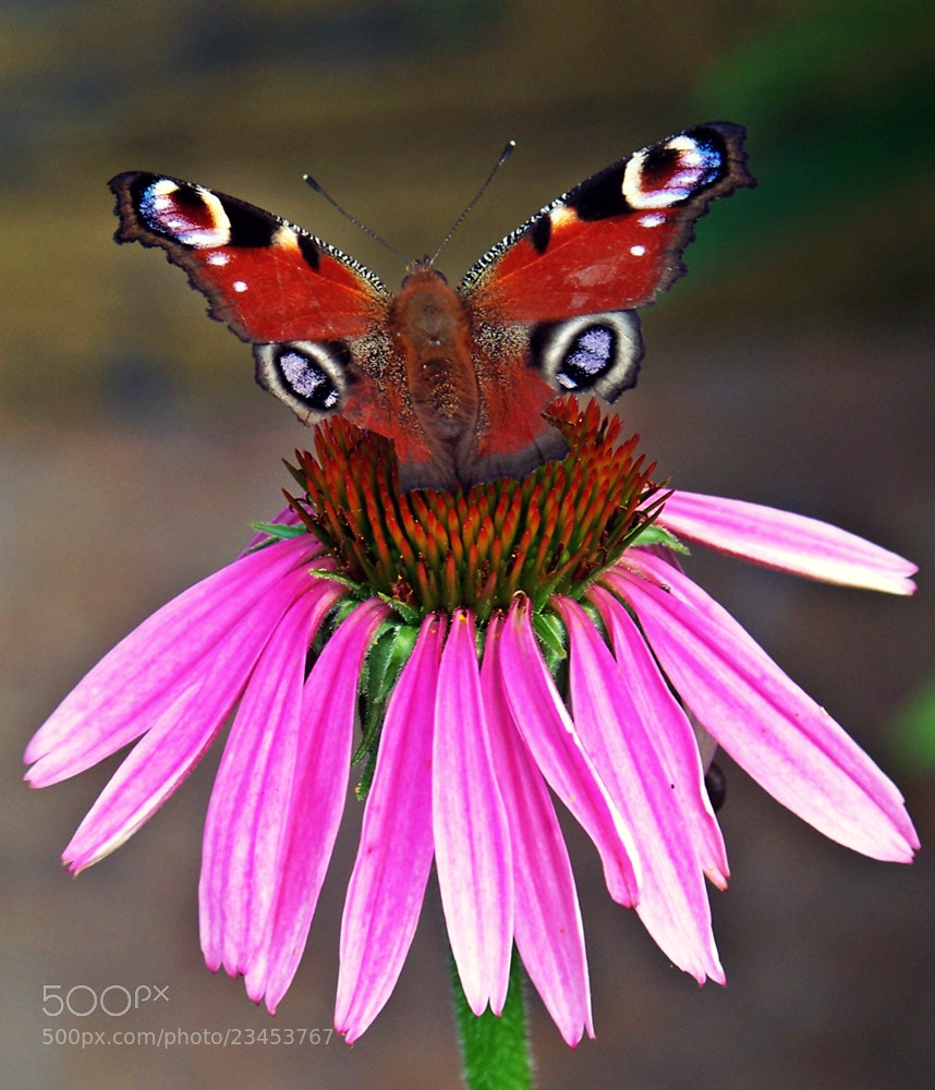 Photograph butterfly by Alma Kerpauskienė on 500px