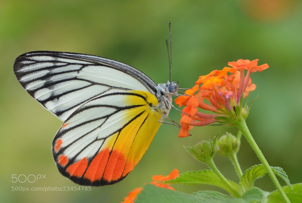 Photograph Painted Jezebel Macro by Terence Kok on 500px