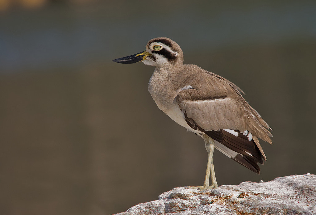 Photograph Great Thick-knee by Girish Prahalad on 500px