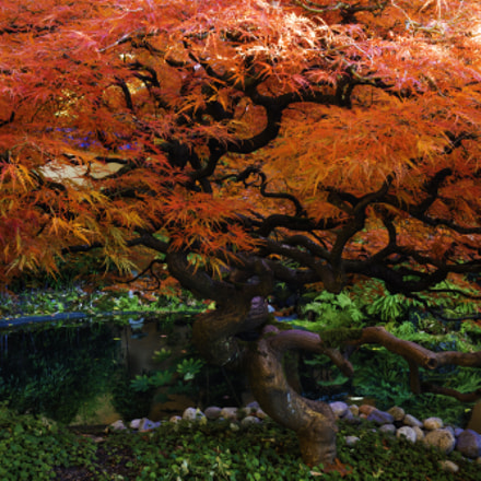japanese red maple tree fall colours
