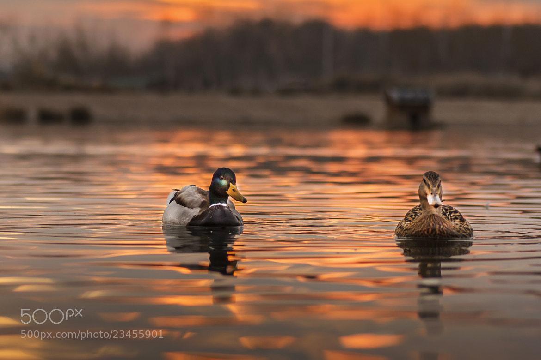 Photograph Mr. & Mrs Duck ( it's a wonderful evening  honey ) by Tony Goran on 500px