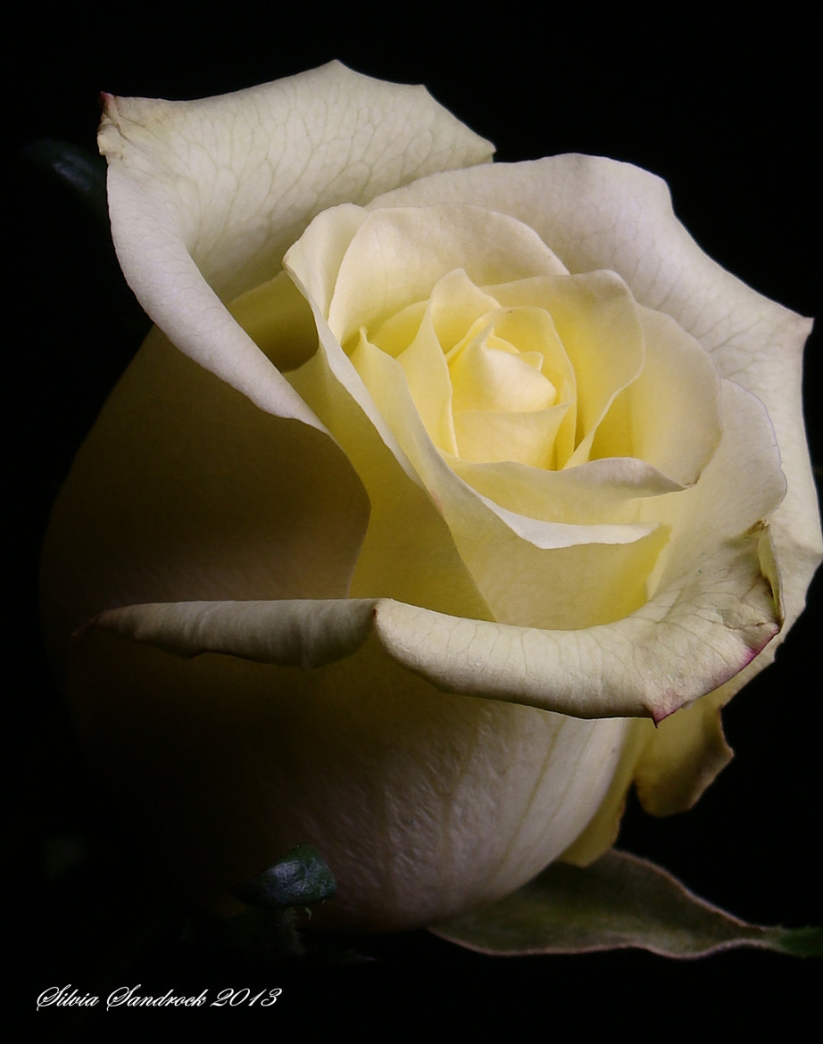 Photograph A rose by any other name would smell as sweet.... by Silvia Sandrock on 500px