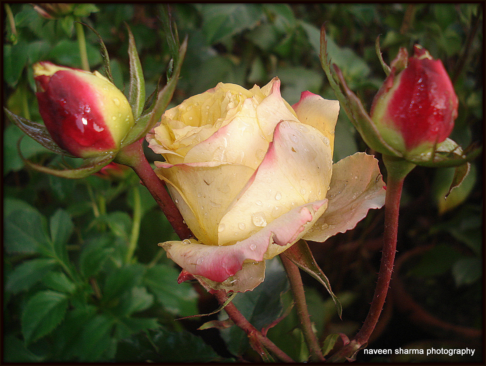 Photograph lovely rose n buds by naveen sharma on 500px