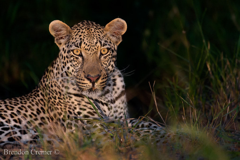 Photograph Leopard by Brendon Cremer on 500px