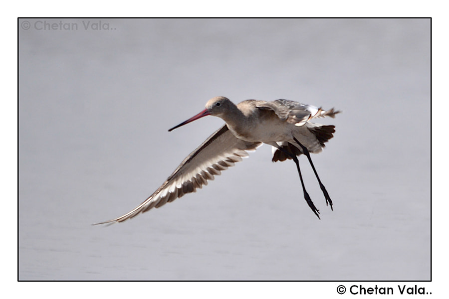 Photograph Godwit in Flight by chetan vala on 500px