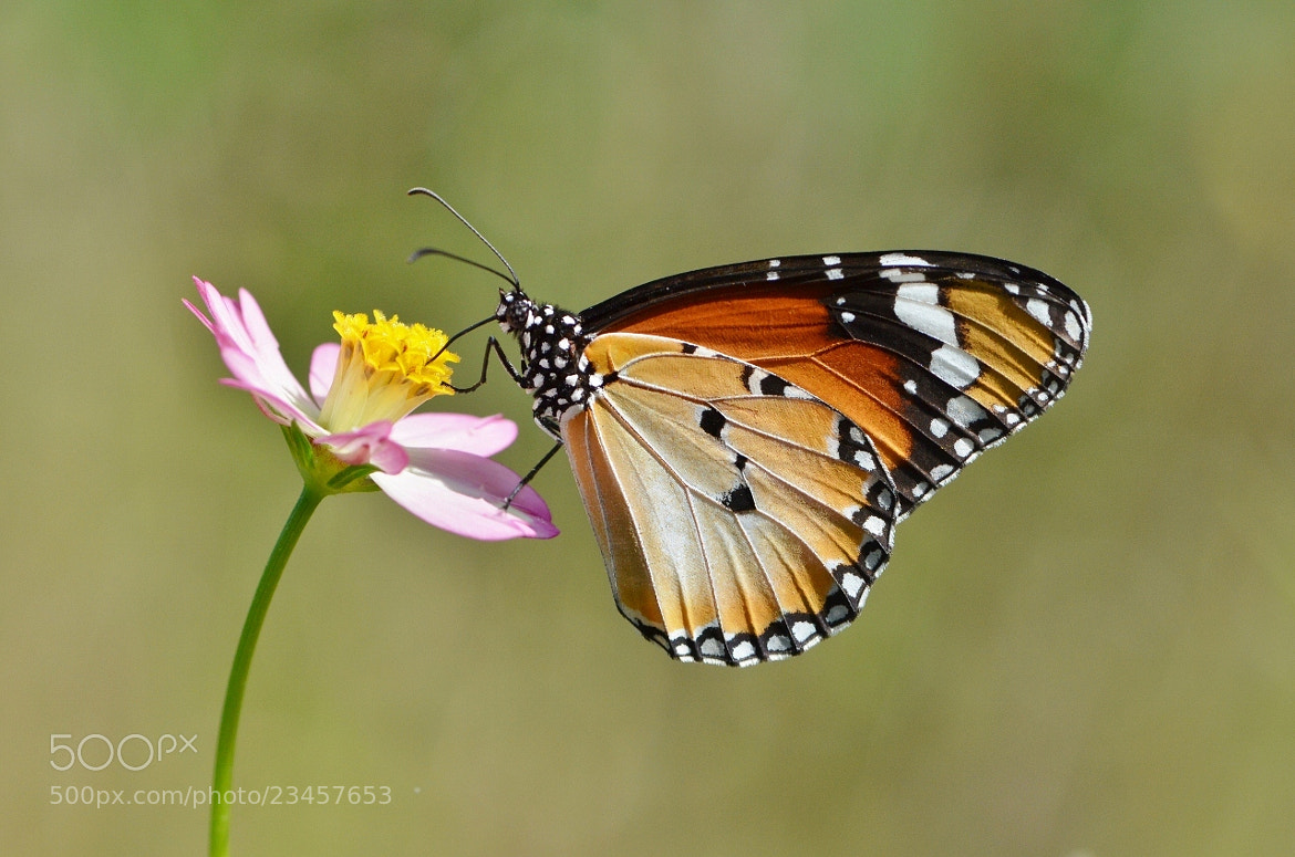 Photograph Common Tiger Macro by Terence Kok on 500px