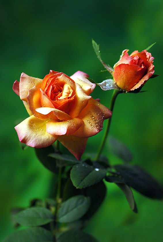 Photograph Roses by Shobin George on 500px