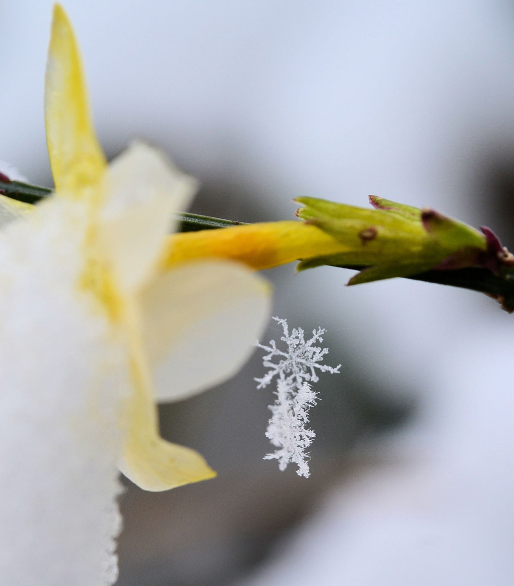 Photograph Snowflakes on winter jasmine by Heather Aplin on 500px