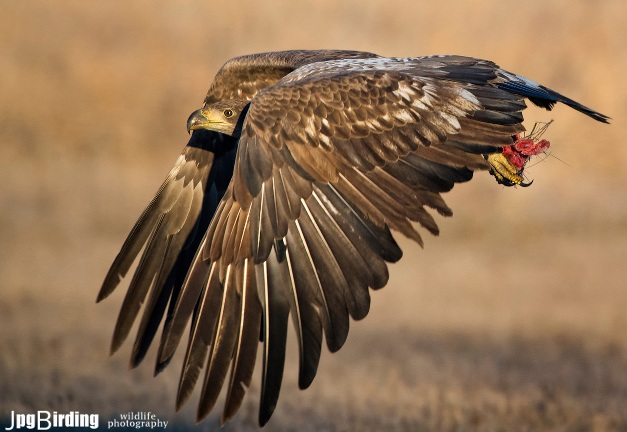 Photograph White-tailed Eagle..... another flight by jose pesquero on 500px