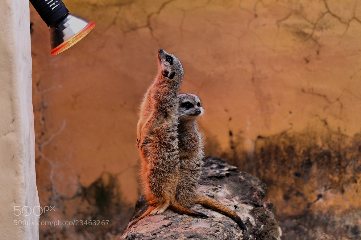 "Photograph ""Sunning"" Meerkats by Lin Zee on 500px"