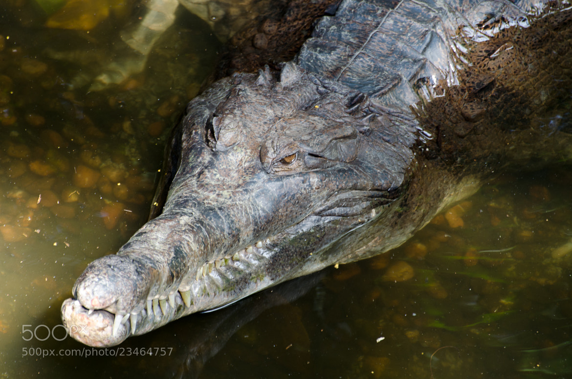 Photograph false gharial by Kok Leong Lee on 500px